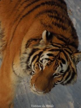 Lions au Parc des Tigres de Sibérie à Harbin