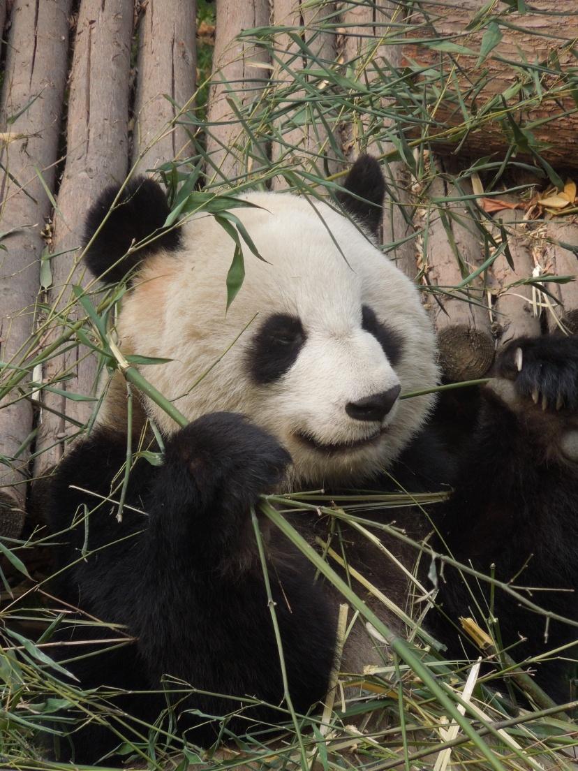 Centre d'élevage des pandas géants, Chengdu, Chine