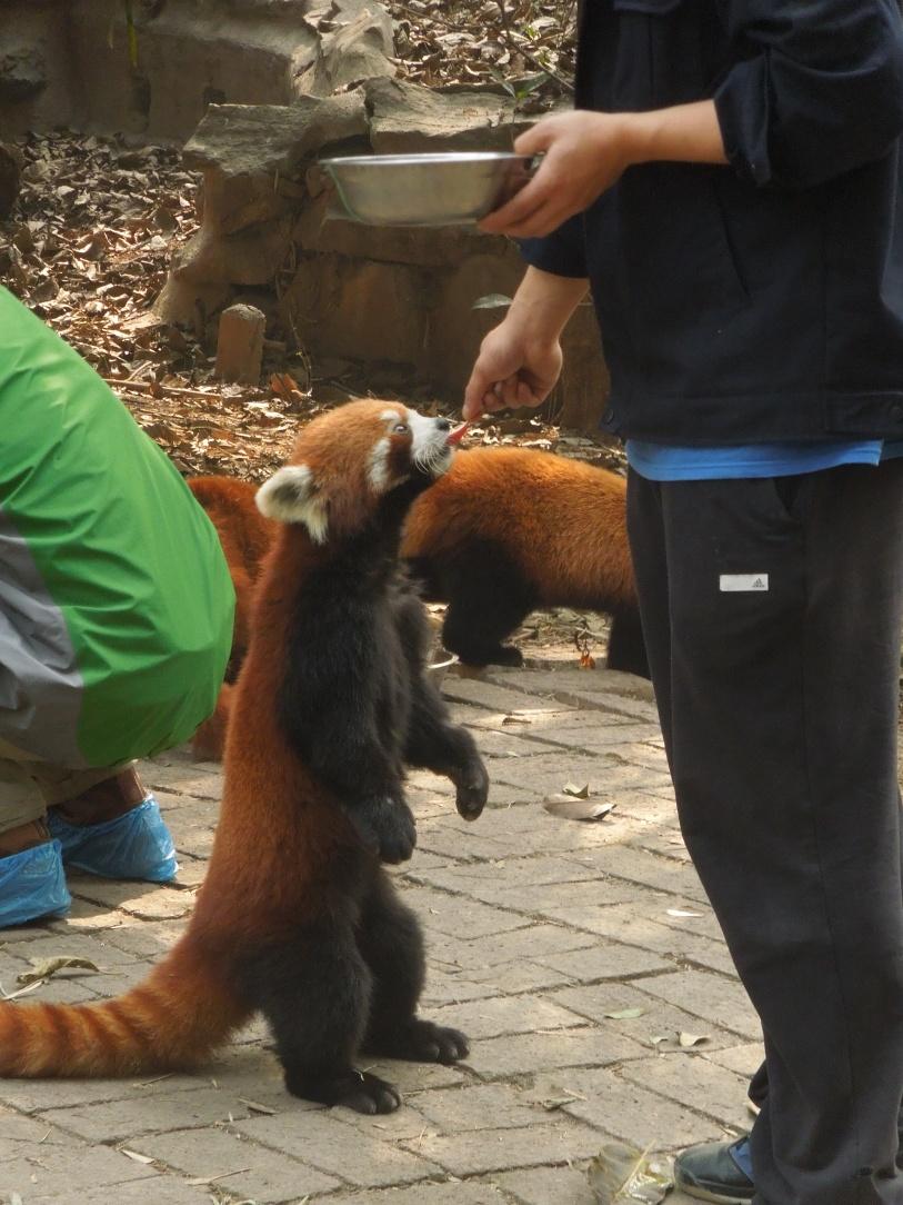 Panda roux du Centre de Recherche et d'Élevage du Panda Géant, Chengdu