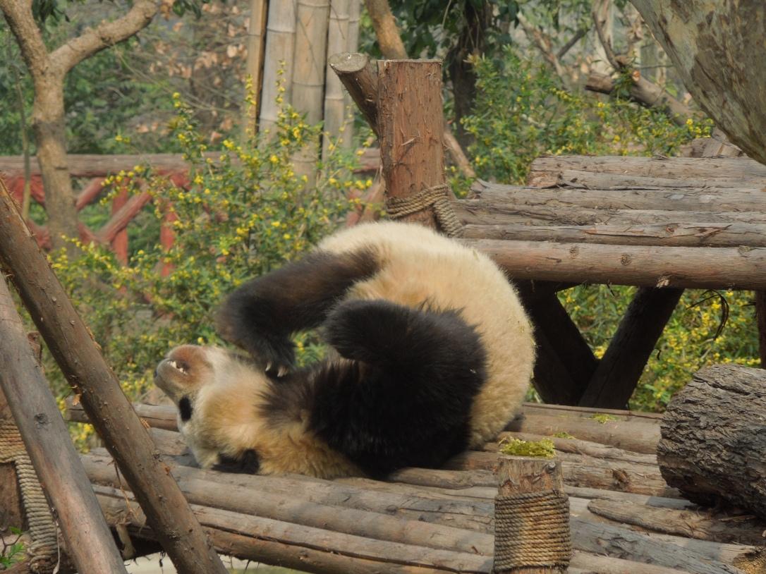 Centre de Recherche et d'Élevage du Panda Géant, Chengdu