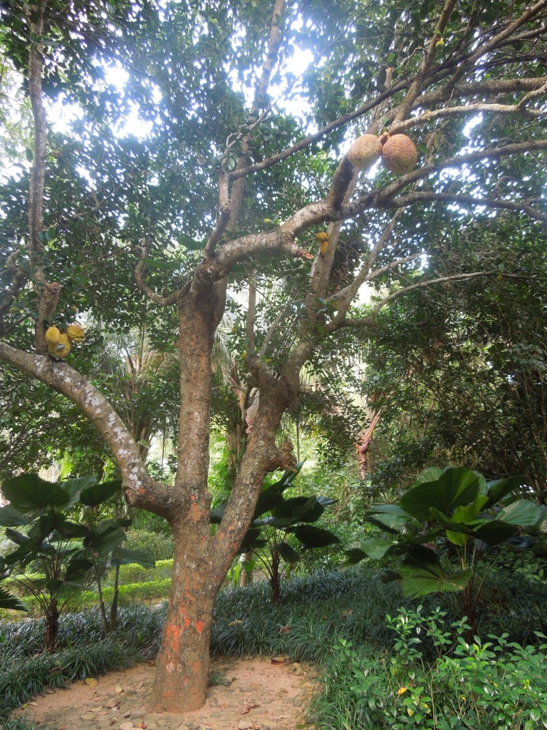 Durian au Jardin Botanique de Xinglong, Wanning, Chine