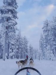 Laponie - Chiens de traineau