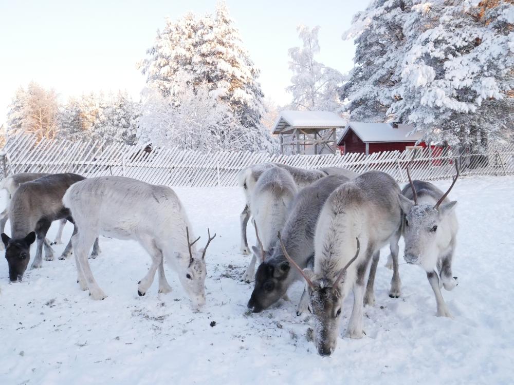 Jeunes rennes mangeant