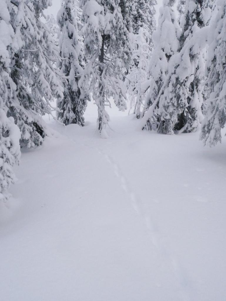 Laponie - Traces de lapin et renard