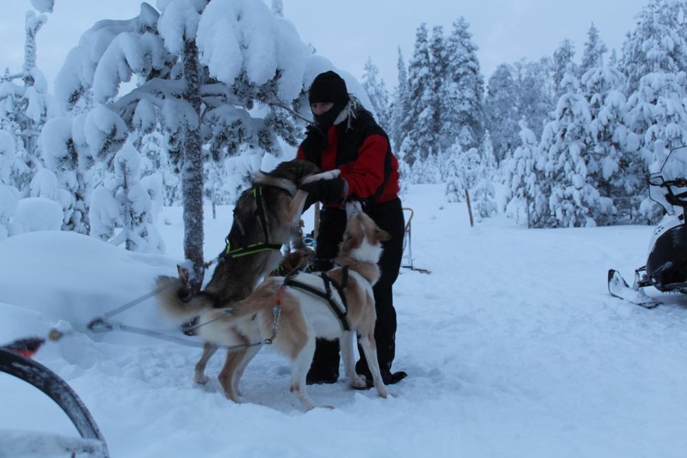 S'habiller en Laponie - Chiens de traineau